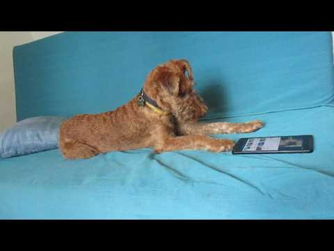 Irish terrier 7 months