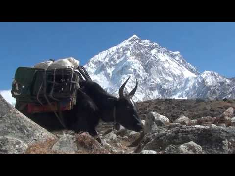 Himalaya - The Yaks Of Mt Everest