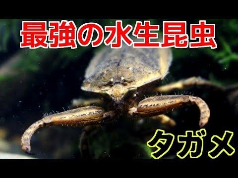 亀すら捕食する最強の水生昆虫の捕獲に成功!