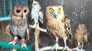 Perawatan MUDAH Burung Hantu    OWL Dan Koleksi Macam Macam Jenis Burung Hantu