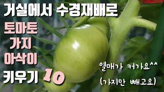 토마토 가지 아삭이고추 거실에서 수경재배로 키워요 10…