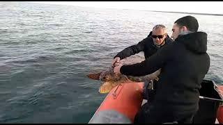 Tre tartarughe tornano a solcare il mare Adriatico