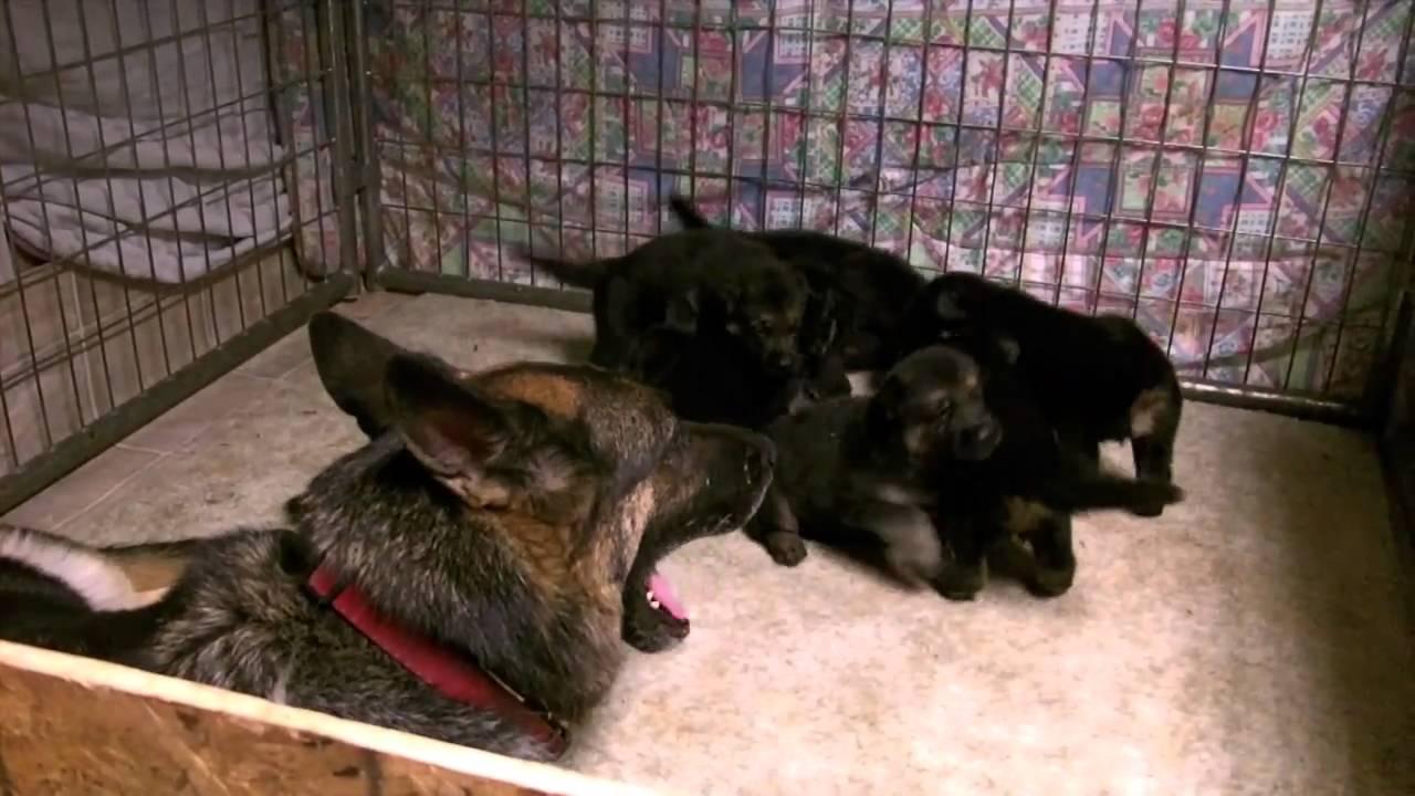 Vomweiland Three Week Old German Shepherd Puppies Youtube