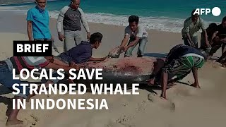 Stranded whale saved by locals on Indonesian beach | AFP