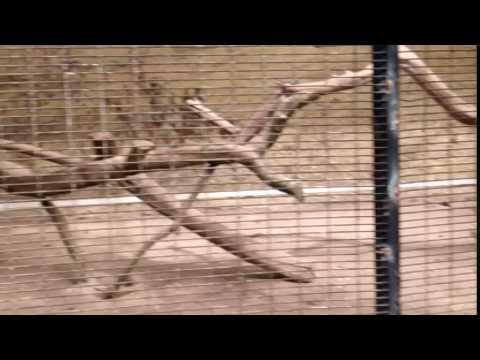 lady amherst pheasant Bird : Water world Sri Lanka