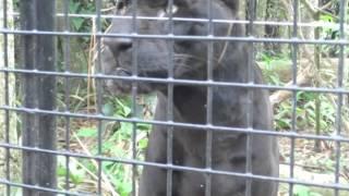 scary Black Jaguar feeds @ Belize Zoo