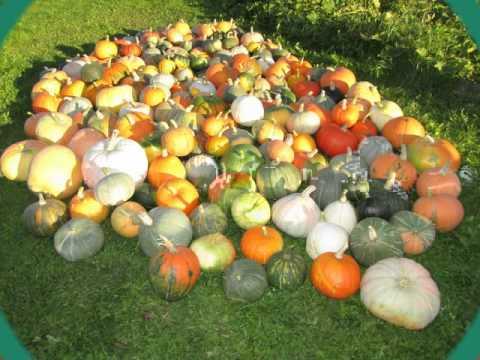 Moliugai Pumpkins Tыква Cucurbita maxima Kushmandaka