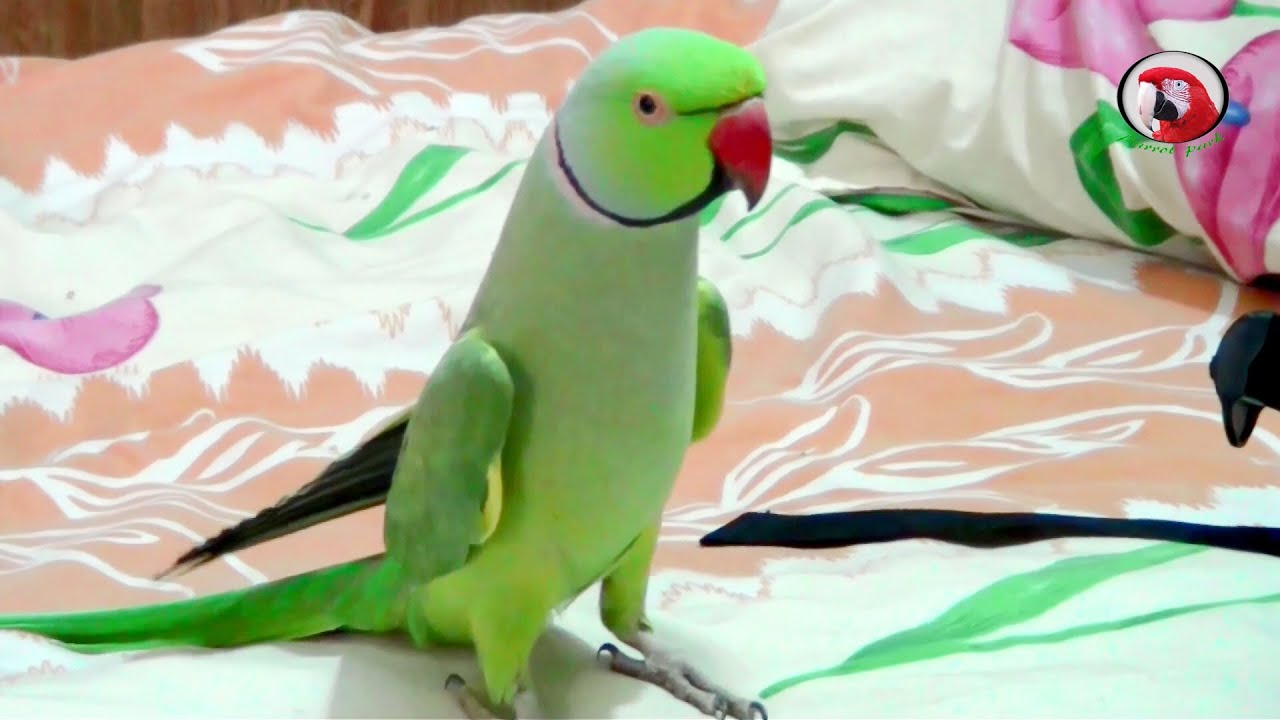 """5 sentences on parrot in hindi French translation of """"parrot"""" example sentences including 'parrot' 2 deux 3 trois 4 quatre 5 cinq 6 six 7 sept 8 huit 9 neuf 10 dix 11 onze 12 douze 13."""