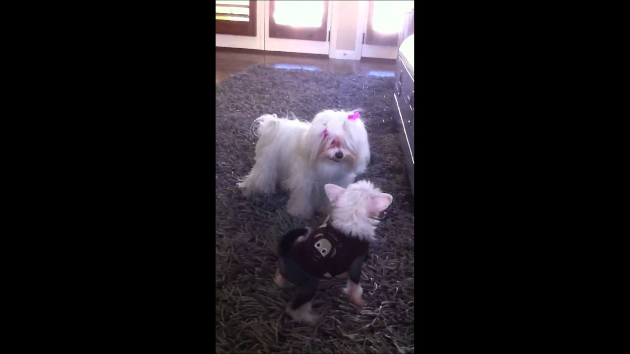 Chinese Crested Maltese Best Puppy Friends Forever Youtube
