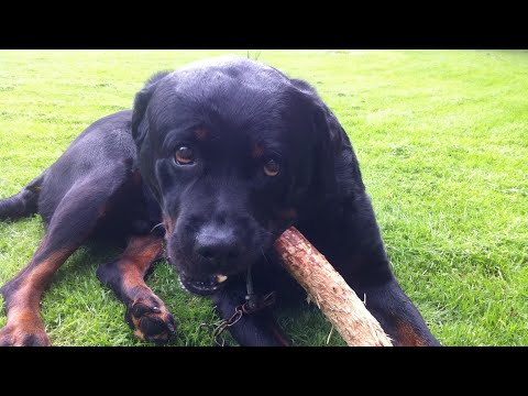 Large Rottweiler training his Jaws!