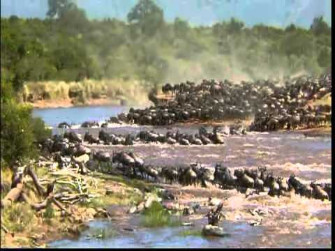 The Great Migration of the Animal's in Serengeti 480P