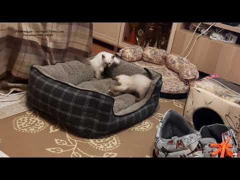 Полуторамесячные тайские котята зажигают! Тайские кошки - это чудо! Funny Cats