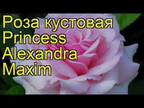 Роза кустовая Принцесса Александра Максим. Краткий обзор, описание Princess Alexandra Maxim