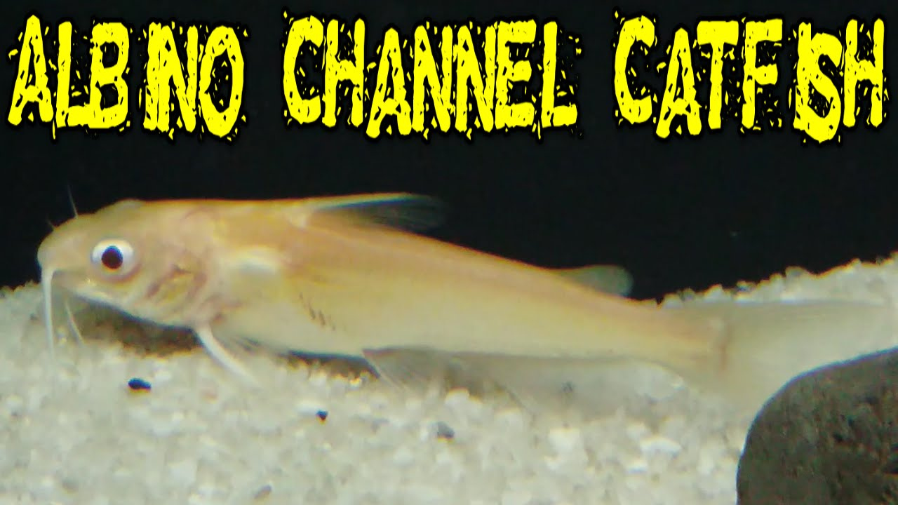 albino channel catfish youtube