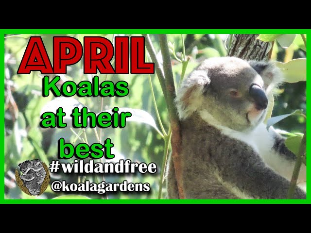 Koalas 🐨 at their best in April - and loads of Australian Native Wildlife to amaze you.
