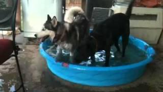 Siberian Huskies In Tx Panhandle Heat