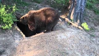 Medved hnedy,  Ursus arctos (HD)