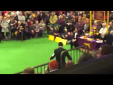 Westminster 2012 Portuguese Water Dogs