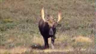 A good shot at a nice bull!