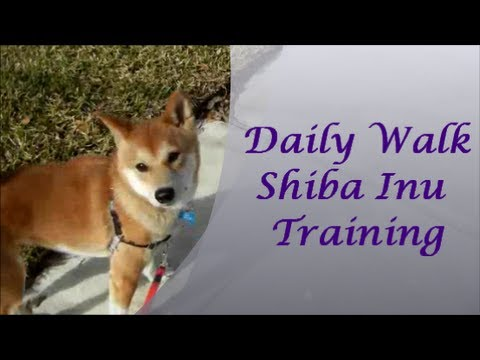 Daily Walk Shiba Inu Training - with Milo and KKRae