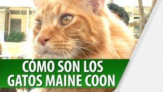 Características del Gato Maine Coon