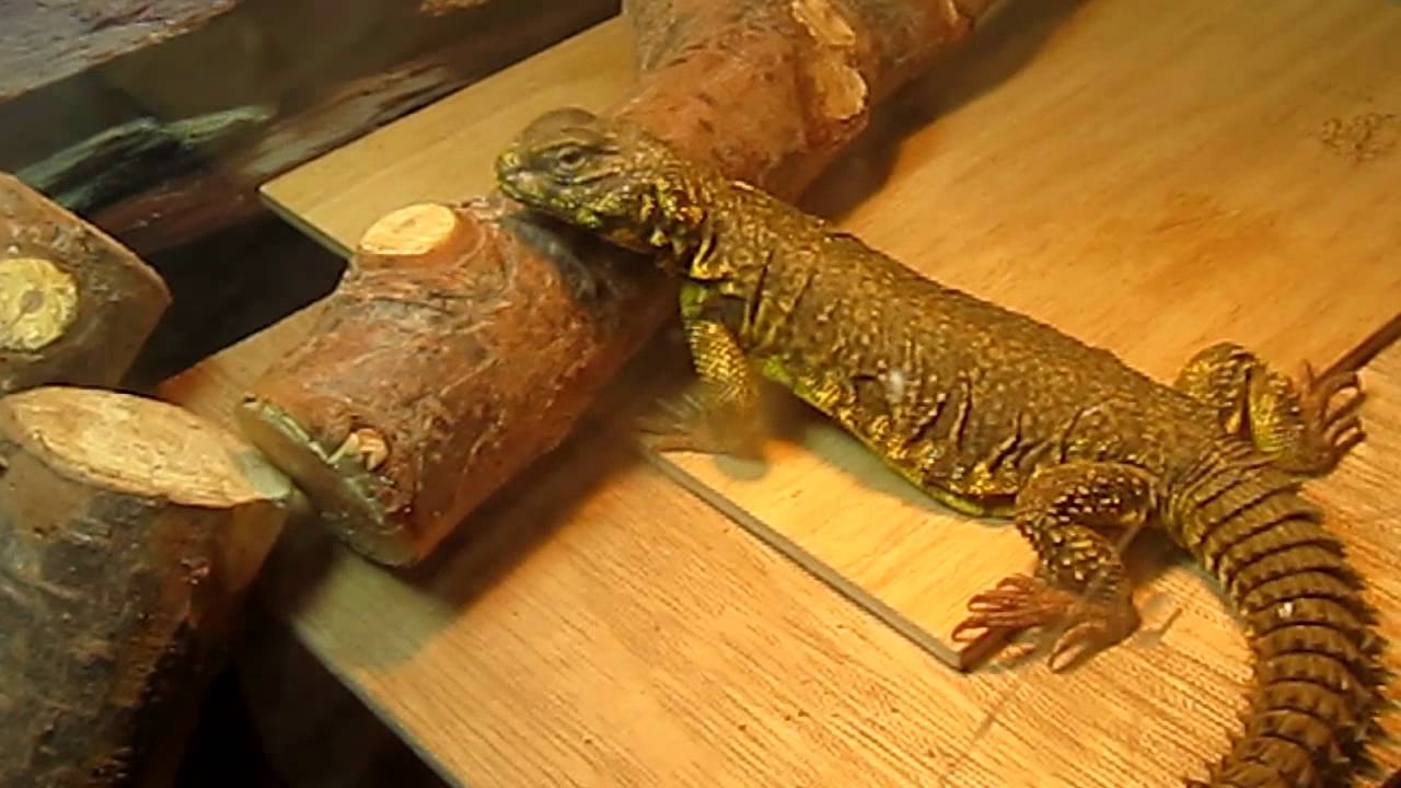 Baby Bearded Dragons for Sale - Red, Citrus