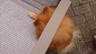 Cute Puppy Trying To Reach His Snack ! - Starring Romeo And Juliet (pom Poms)