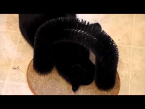 Rachel The Bombay Cat Catnip