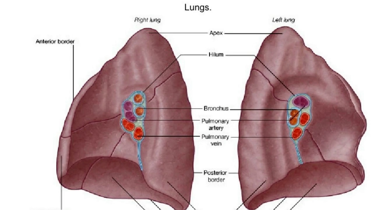 What Is The Hilum Of The Lung Youtube
