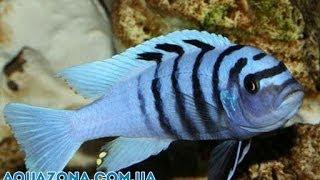 Белая зебра - домашние рыбки в аквариуме купить