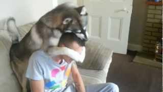 Siberian Husky Grooming Owner