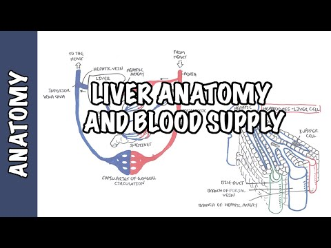Liver Anatomy and Blood Supply
