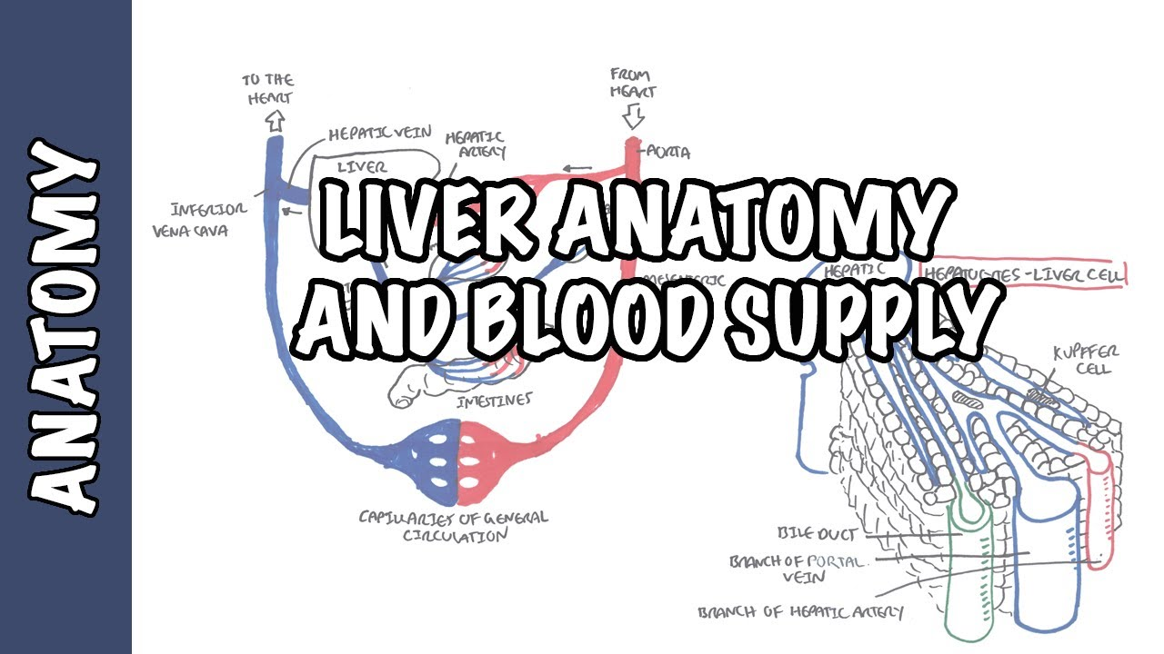 Liver Anatomy And Blood Supply Youtube