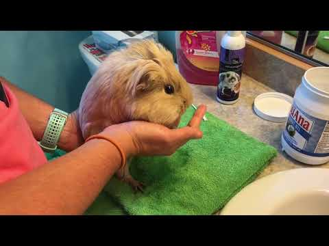 Cleaning Guinea Pig Grease Glands