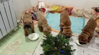 Шарпеи малыши встречали год собаки 2018