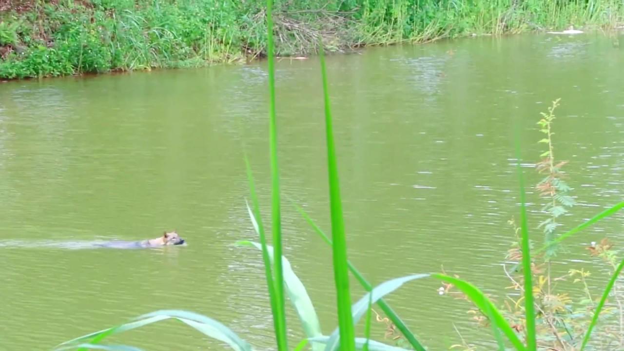 Chú chó bơi qua hồ nước