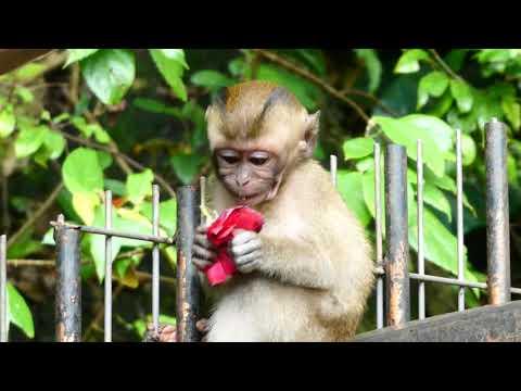 Baby monkey eating a rose, Kuala Lumpur, Malaysia
