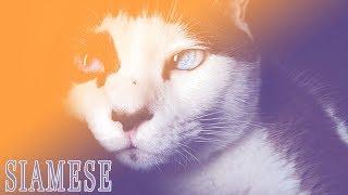 Ideal Companion: Siamese | Cat Breeding Videos