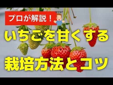 甘い イチゴ の 育て 方