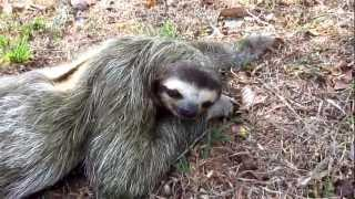 Petting a Wild Three-Toed Sloth