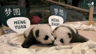 Panda-Jungs im Zoo Berlin bekommen Namen - Official naming ceremony for Zoo Berlin's panda boys thumbnail