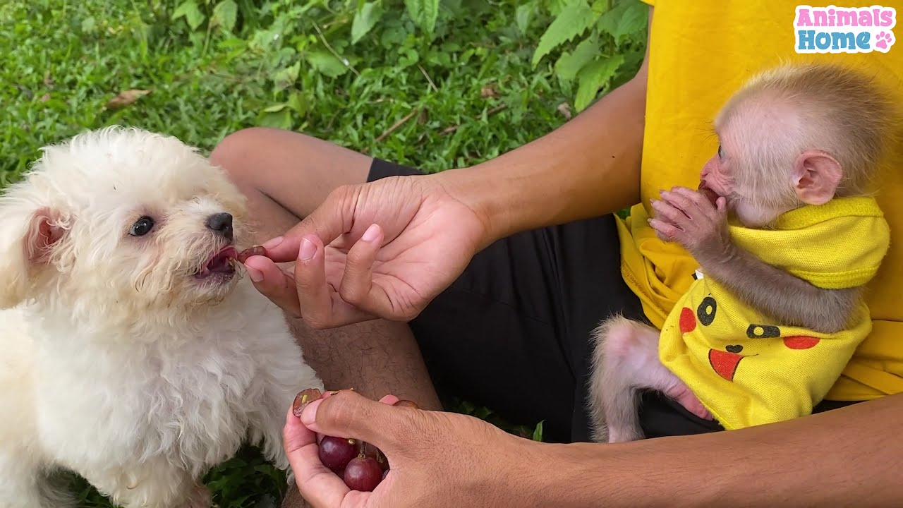 Baby monkey don't want dad stroking poodles