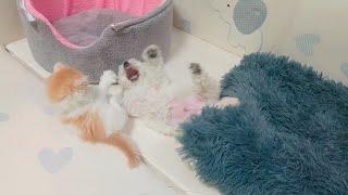 아기 고양이와 아기 비숑의 싸움