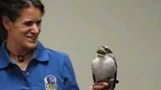 Kookaburra calls