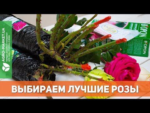 Лучшие розы нового сезона | Agro-Market.ua
