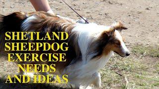 Shetland Sheepdog Exercise Needs [Sheltie Dog]