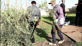 Unload of the first olive saplings transfer - 30 Nov 2020