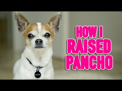 How I raised my chihuahua Pancho