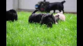 Minature Poodle Mixes For Sale