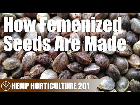 How Feminized Hemp Seeds are Made